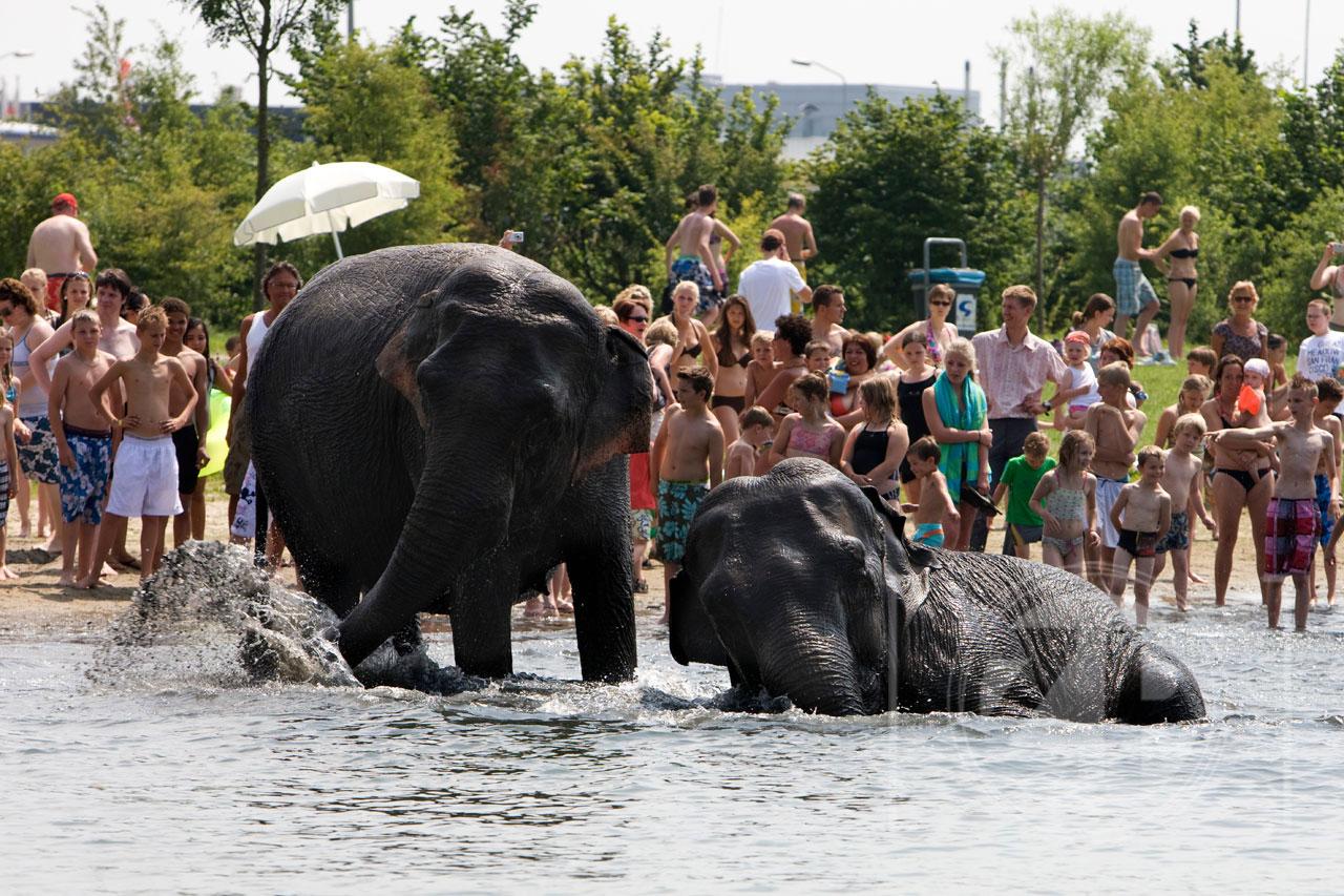 De olifanten van circus Belly Wien, dat de tenten opgeslagen heeft in Warnsveld, nemen een duik in het Bronsbergenmeer in Zutphen voor verkoeling. Dat leverde Patrick van Gemert deze foto op, die vanmorgen te vinden was op de voorpagina's van De Stentor.