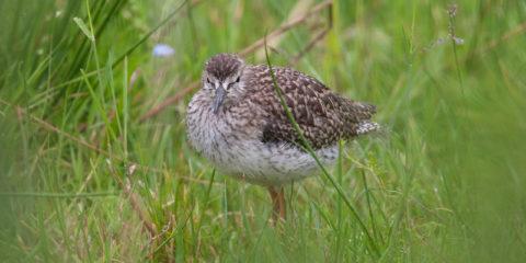Op het terrein van de ijsbaan voelen weidevogels zich prima thuis, jonge tureluur in het gras.