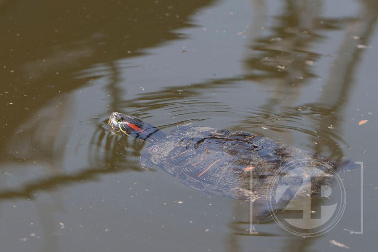 De Zutphense Houthaven heeft een bijzondere bewoner, tussen de schepen zwemt al een paar jaar een roodwangschildpad.