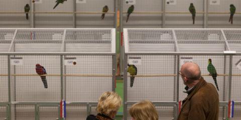 Jaarlijkse vogelshow in de Hanzehal, bezoekers bekijken de gekooide vogeltjes.