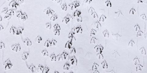 Sporen van watervogels op het besneeuwde ijs.