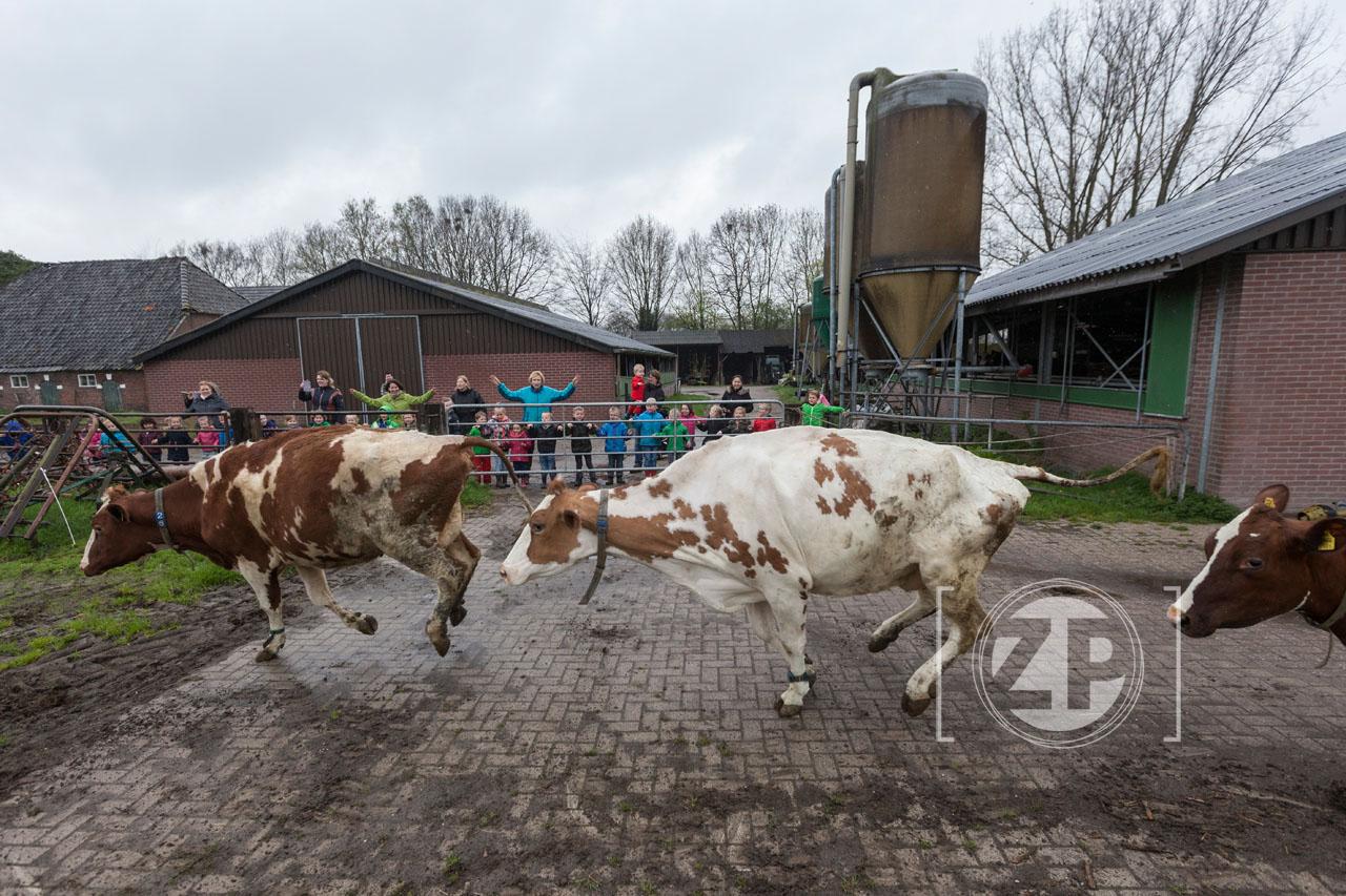 Bij boer Gerwin Wiegman gingen vrijdagmorgen de koeien weer voor het eerst dit jaar naar buiten. Ze hebben de hele winter binnen gestaan en vandaag was het tijd om de wei weer in te gaan. Groep 1 en 2 van de basisschool Villa 60 uit Eefde waren aanwezig om de koeien aan te moedigen.