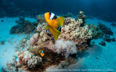 Rode zee Anemoon vis, foto is gemaakt op het rif Abu Dabbab 2 tijdens een duiktrip met de Contessa Mia van de Sea Serpent fleet. Foto: Patrick van Gemert/Zutphens Persbureau