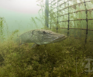De winnende foto van fotograaf Patrick van Gemert van een snoek in het Bronsbergenmeer in de categorie Onderwater van de Lowland Photo Contest 2018.