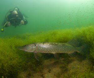 Open Nederlands Kampioenschap onderwaterfotografie, tweede plaats zoetwater voor Patrick van Gemert.